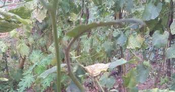 keuntungan menyambung tanaman terong dengan rimbang