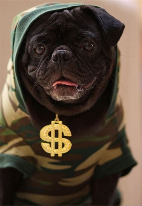 real pugs  cool gangster outfits killer cell