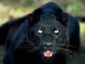 black panther cat cryptid another black panther sighted in plano