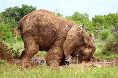 elephant sees puddle  opportunity  clear  mud