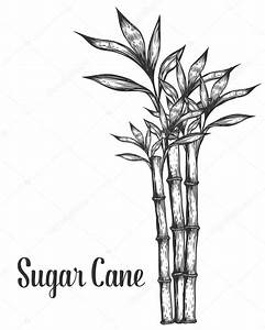 Sugar cane stem branches and leaf vector hand drawn ...