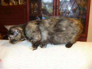 female tortie munchkin ilkeston derbyshire pets4homes With what kind of paint to use on kitchen cabinets for tiffany and co crystal candle holders