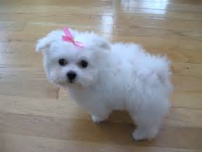 Maltese Dog Breed Puppy