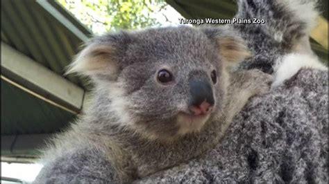 Koala Joeys Hang Out At Australia Zoo Msnbc