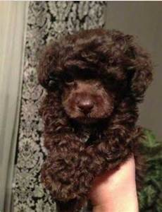 Love the chocolate color. | Poodle | Pinterest | Chocolate ...