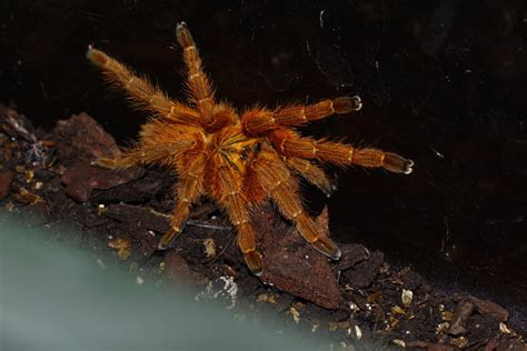 juvie orange baboon tarantula  hyperborean  deviantart