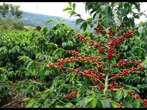 Coffee, java, joe usa qahwah, caova, cova middle east cabi panama; Coffea - Coffea arabica - Coffee Plant - YouTube