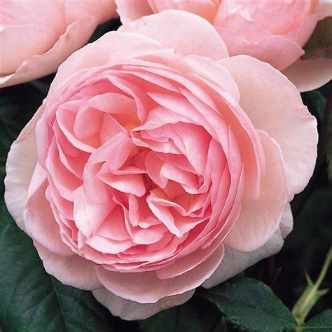 grow english roses  garden glove