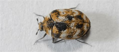 Handling A Carpet Beetle Infestation And Having Carpet Mites Remove Mildew From Indoor Outdoor Carpet What Do You Use To Get Nail Polish Off Golden Globe Red Television Coverage How Out Of Boat First Impressions Cleaning Orlando Old Dog Urine Spots Take Will