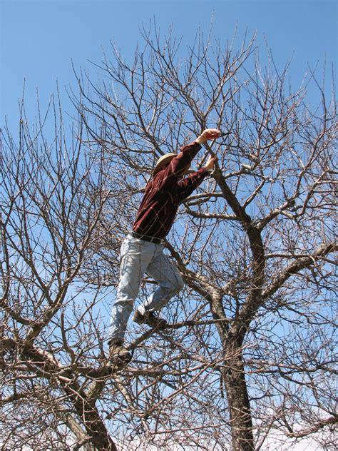 tree pruning top 28 apple tree prune the faires family how to prune apple trees pruning apple trees