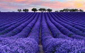 Download Wallpaper Lavender Field 2560 X 1600 Widescreen