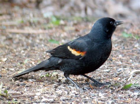 laura erickson s species gallery red winged blackbird photos