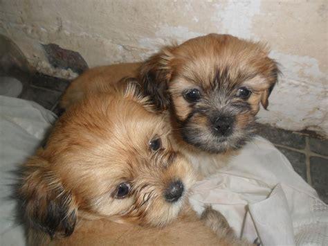 ***LHASA APSO PUPPIES*** | Ayr, Ayrshire | Pets4Homes