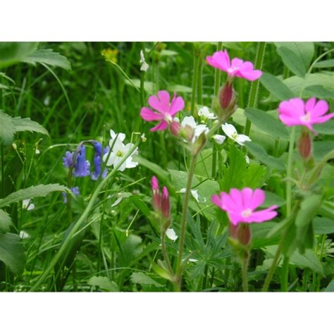 woodland wildflowers woodland and hedgerow wildflowers 100 wild flower seed mix from wildflowers uk