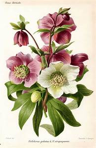 1883 Hellebore Purple White Antique Botanical Print French ...
