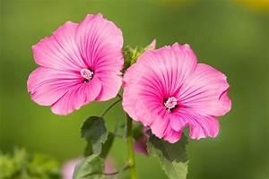 Pflanzen Sonniger Standort : malven pflege pflanzen d ngen schnitt ~ Michelbontemps.com Haus und Dekorationen