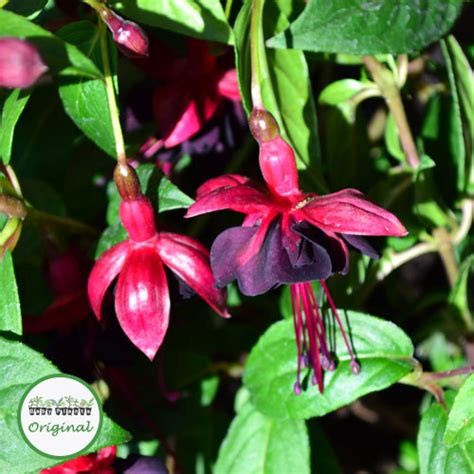 Fuchsia Plug Plants  Climbing Lady In Black Babyplants