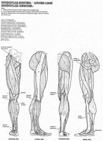 Anatomy Coloring Muscle Muscles Human Pages Physical