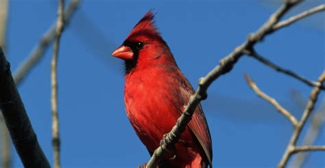 virginia state bird www pixshark com images galleries