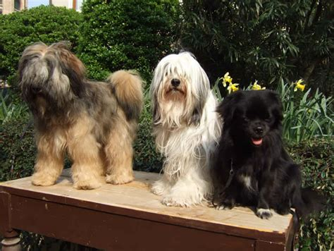 Tibetan Terriers Do They Shed by Tibetan Terrier Giardino Breeds Picture