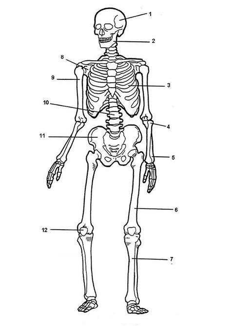 Kleurplaat Skelet Mens by Ons Geraamte Geraamte De Mens Menselijk Lichaam