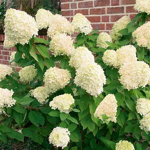 Welche Pflanzen Passen Gut Zu Hortensien : rispen hortensie limelight von g rtner p tschke ~ Lizthompson.info Haus und Dekorationen