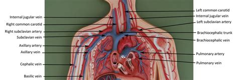 Blood vessels (labeled) coloring page. Human Anatomy | Arteries anatomy, Arteries, veins, Human anatomy, physiology
