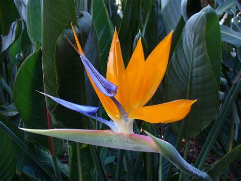 Tropical Bird Of Paradise  Desert Horizon Nursery
