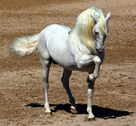 andalusian horse horses spanish breed venomxbaby breeds arabian pre deviantart localriding spain beauty animal performance elegance pure most mafia gorgeous