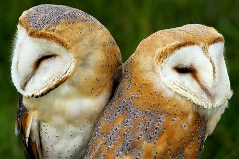 barn owl lifespan white wolf 10 animals who mate for photos