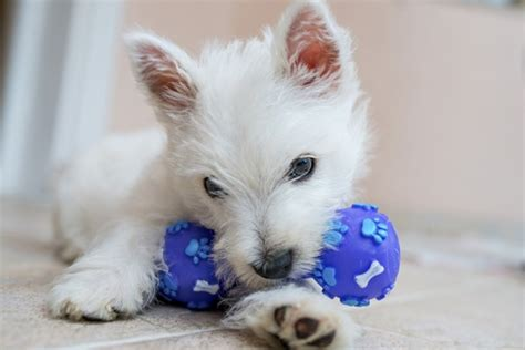 dogs love squeaky toys petmeds pet health blog