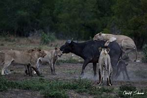A pride of lions surround a buffalo and calf - Africa ...