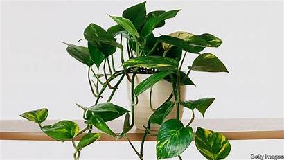 Ivy Plants Houseplants Type Common Air Getty
