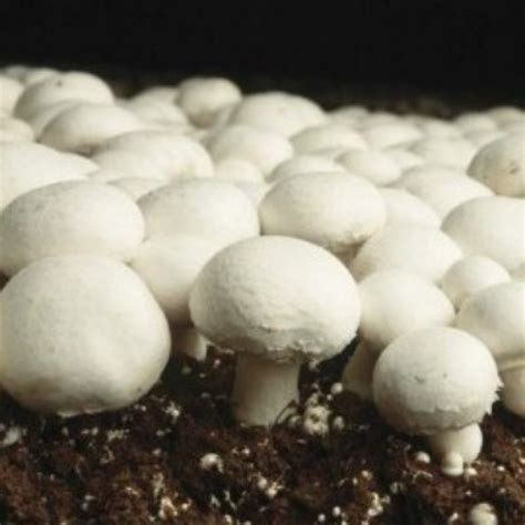 growing button mushrooms white button agaricus bisporus