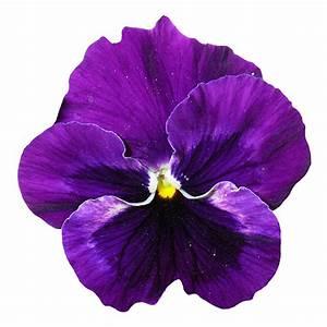 Pansy Flower PNG Transparent Image - PngPix