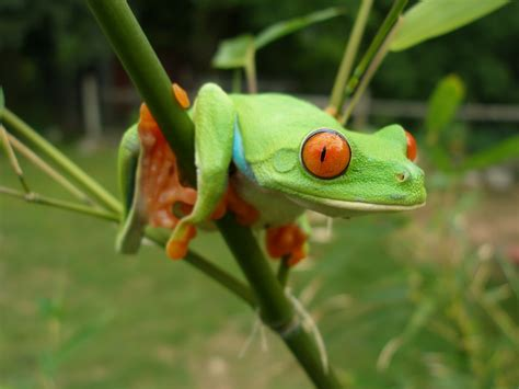 tree frogs tree frog animal wildlife