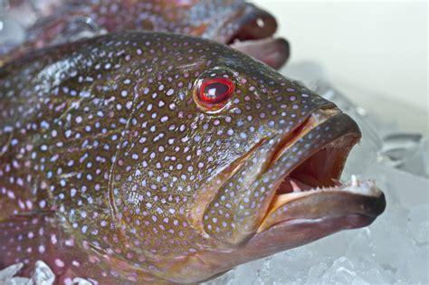 grouper fresh fish ice strawberry december market report caught