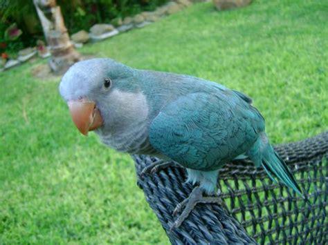blue quaker parrot hello friends blue quaker parrot