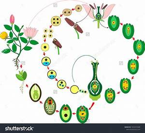 Angiosperm Plant Life Cycle  Diagram Of Life Cycle Of