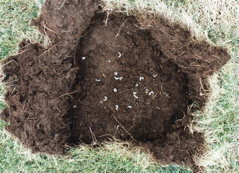 what kills grubs in your lawn how to stop grubs before they kill your lawn