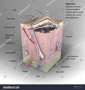 3d Cross Section Of Skin Labeled Stock Photo 31460794