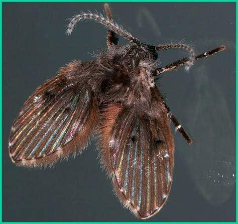 drain flies get rid of drain flies drain fly control treatment