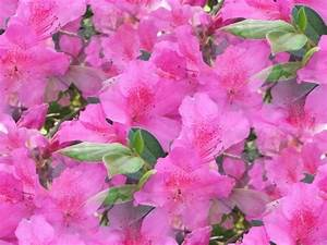 Pink Flowers Names And Picture 33 Cool Hd Wallpaper ...
