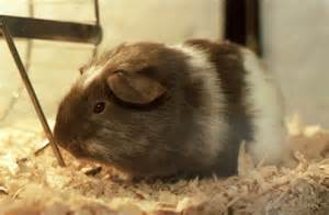 why is toxic cedar and pine bedding still sold for small pets guinea pig today