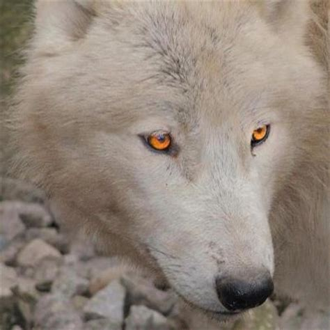White Kitchen Gold Eye by White Wolf Gold Natura Lupo Wolves