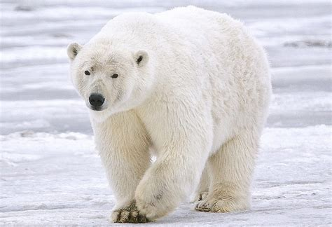 Polar Bear Wallpaper And Background Image