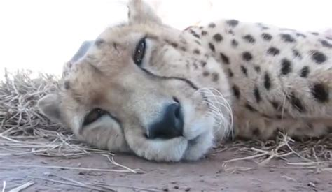 Sleepy Cheetah Purrs For The Camera