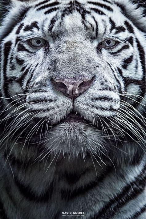 Best Images About Tiger Mutations Pinterest
