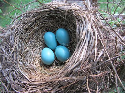 image gallery robin nest