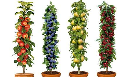 columnpillar fruit trees groupon goods